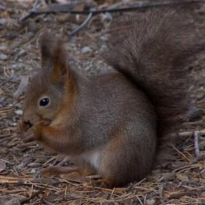 squirrel__